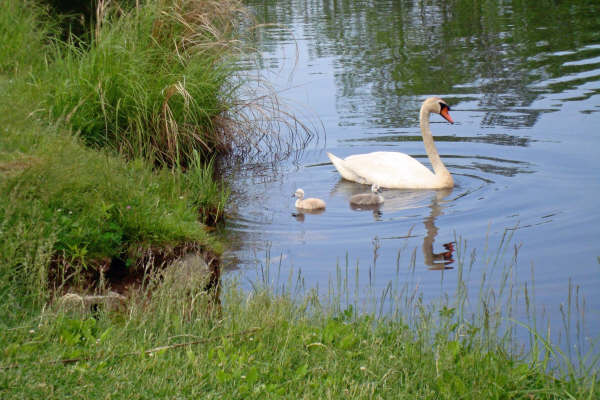 Swan family at Bartlett Pond