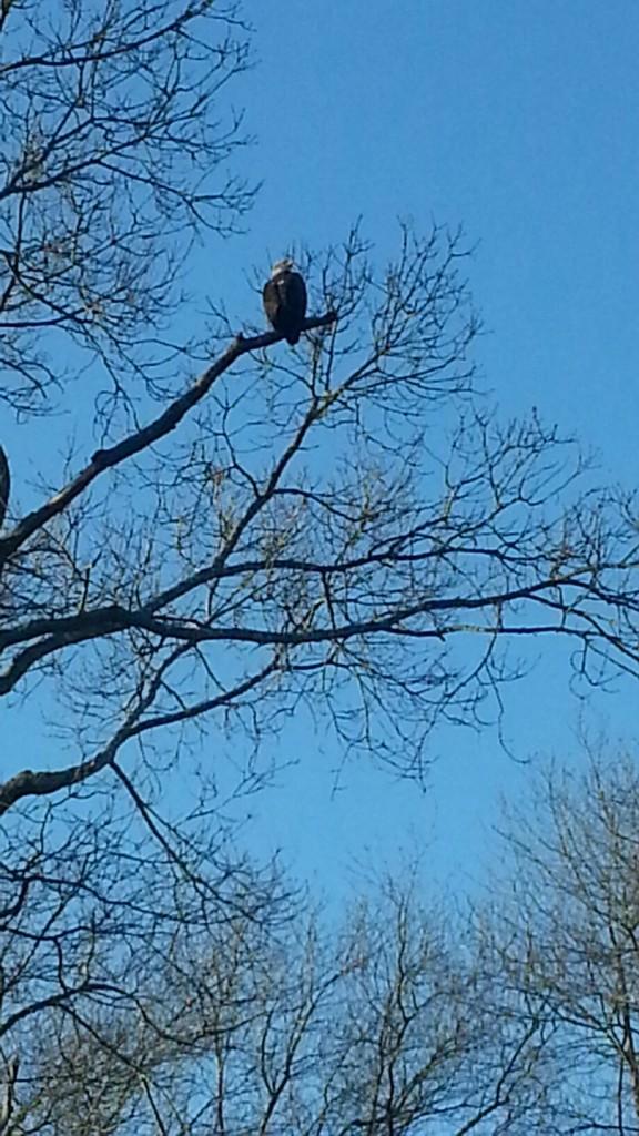 Eagle at Artist Lake
